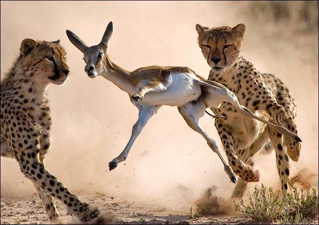 Tu te promènes dans la savane africaine, soudain tu vois une petite gazelle qui cherche à échapper à ...