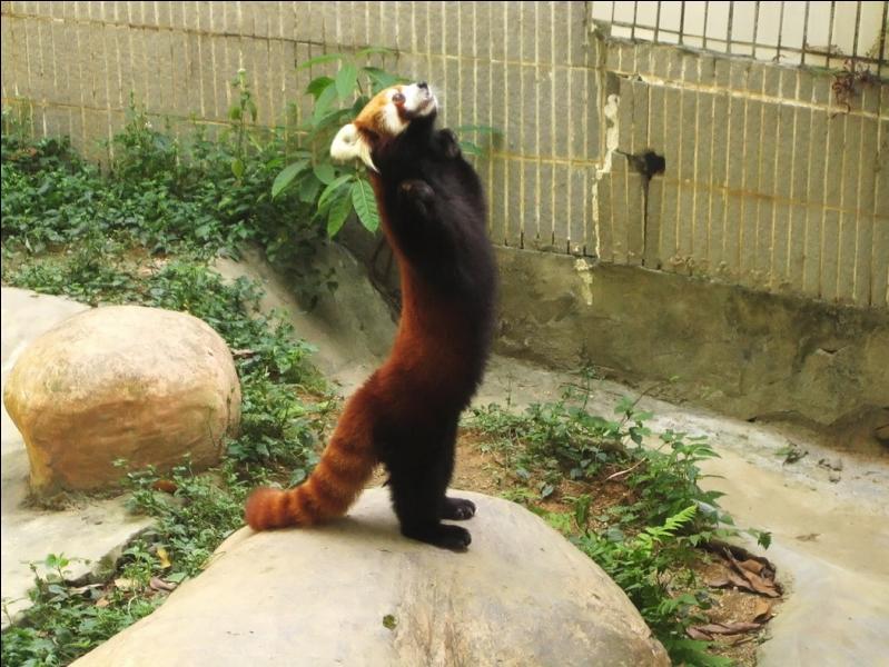 Bien reposé, tu as décidé de faire un tour en Asie, et dans une forêt de bambous, tu as vu ce sympathique animal :
