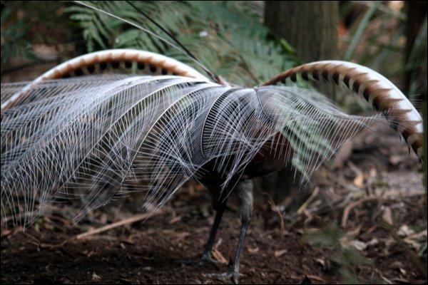 Comme l'Australie ta vraiment plu, tu as décidé d'y retourner, et après un très long voyage, tu as eu la chance de rencontrer cet oiseau mythique, un parfait imitateur !