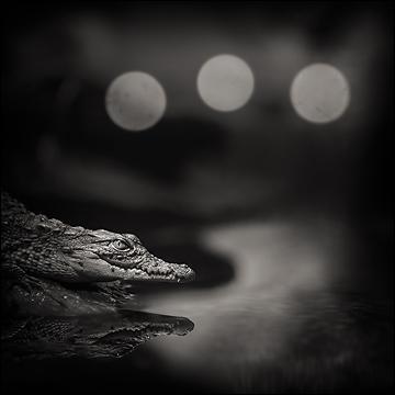A-t-on vu un python avaler un crocodile ?