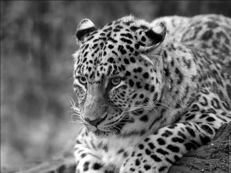 A-t-on vu un léopard semer la panique en Inde après être parvenu à entrer dans un hôpital, un cinéma et un immeuble ?