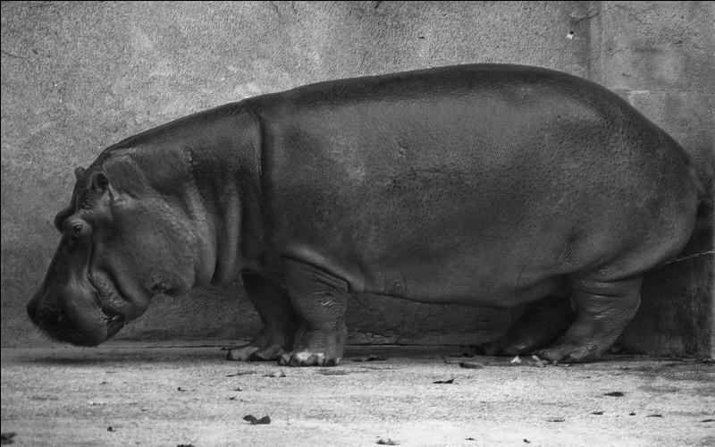 A-t-on vu un homme nain, sautant d'un trampoline, tomber dans la gueule ouverte d'un hippopotame et se faire avaler ?