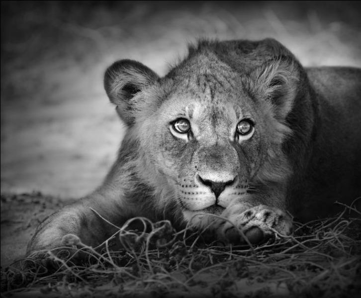 A-t-on vu la naissance exceptionnelle de 3 lions blancs dans un zoo polonais ?