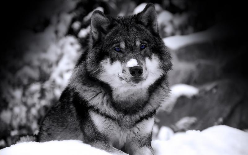A-t-on vu une athlète filmer un loup devant sa chambre d'hôtel à Sotchi ?