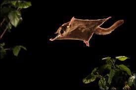 Le phalanger volant, ou  sugar glider  en anglais, est un petit opossum planeur d'Océanie. Ses moeurs sont principalement :