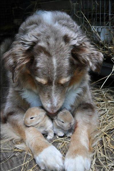 Cette chienne a adopté deux lapereaux !