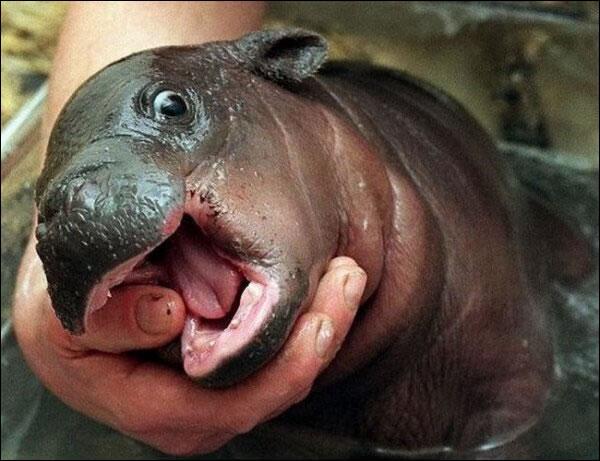 Cet animal est un jeune hippopotame nain, ou pygmée !