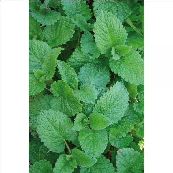 Quizz les plantes qui font du bien quiz plantes - Plante qui attire les moustiques ...