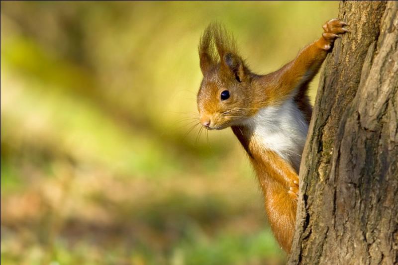 Et là, on reconnaît bien l'écureuil roux d'Amérique !