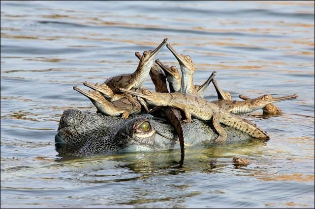 Contrairement aux autres, son museau est très allongé, c'est le gavial de l'Inde !
