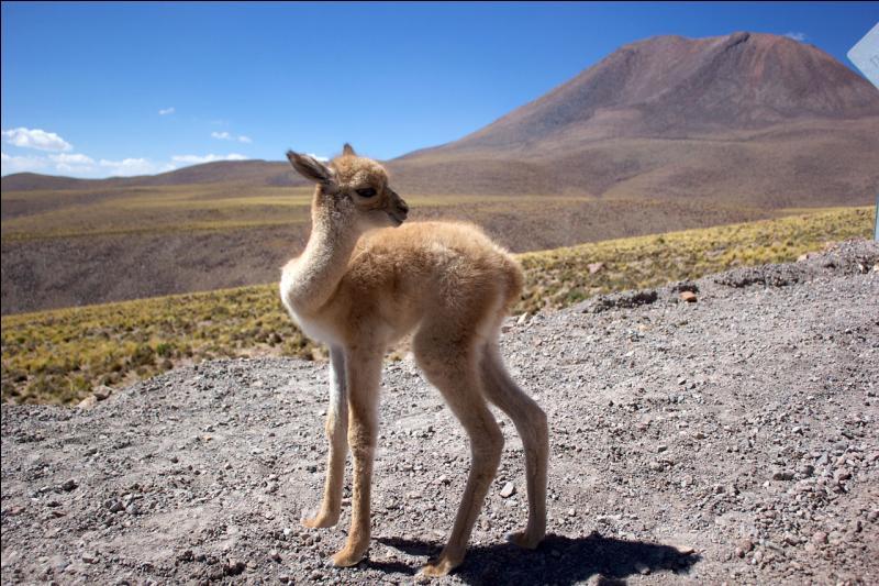 Ce bébé, comme d'autres espèces d'Amérique du Sud, est un proche parent des chameaux et des dromadaires !