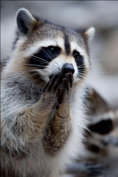 Aucun problème, c'est le petit panda roux !