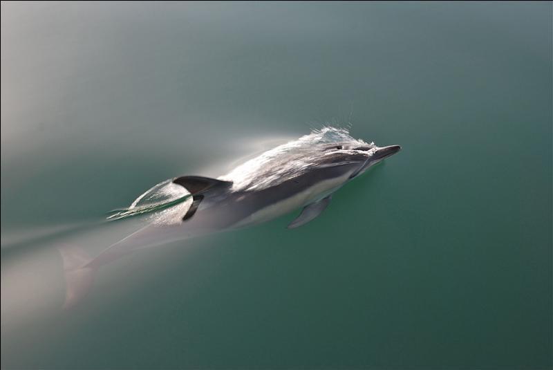 Il est réputé avoir sauvé des vies humaines, c'est le dauphin !