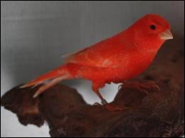 Nous allons commencer par une question facile en admirant ce canari de couleur rouge, mais de quelle couleur est le canari à l'origine ?