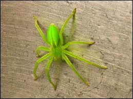 Quelle est cette araignée d'un beau vert-jaune ne tissant pas de toile ?