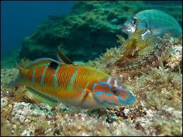 Quel est ce poisson méditerranéen bien coloré ?