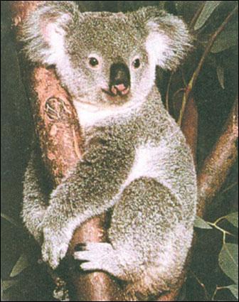 À quoi ressemble le cri du koala ?