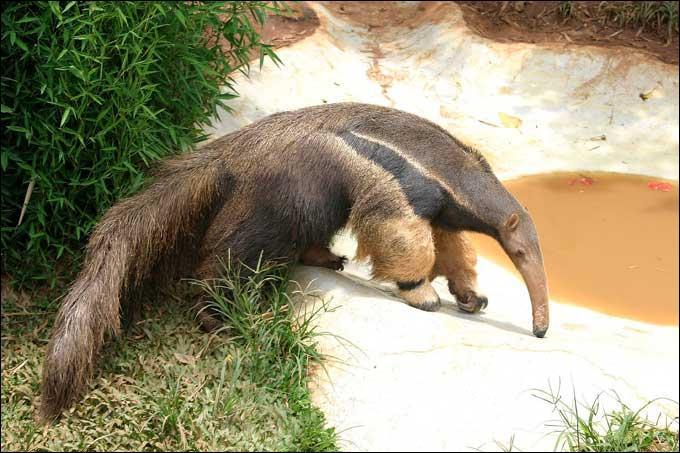 Que se passe-t-il si un tamanoir affronte un puma ?