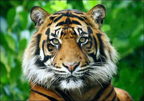 Où vit le tigre ?