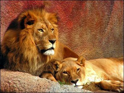 Parmi les lions, lequel des deux est chargé de chasser et de rapporter la nourriture pour nourrir la famille ?