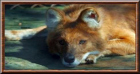 Le dhole est un chien sauvage ...