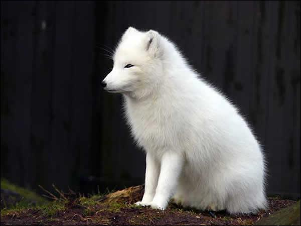 Quelle est la couleur du renard polaire ?