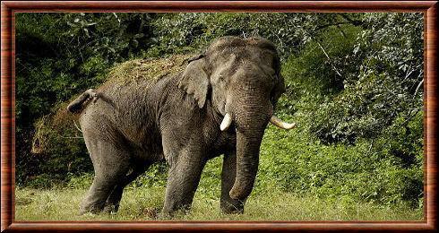 Quel poids de nourriture un éléphant ingurgite-t-il par jour ?