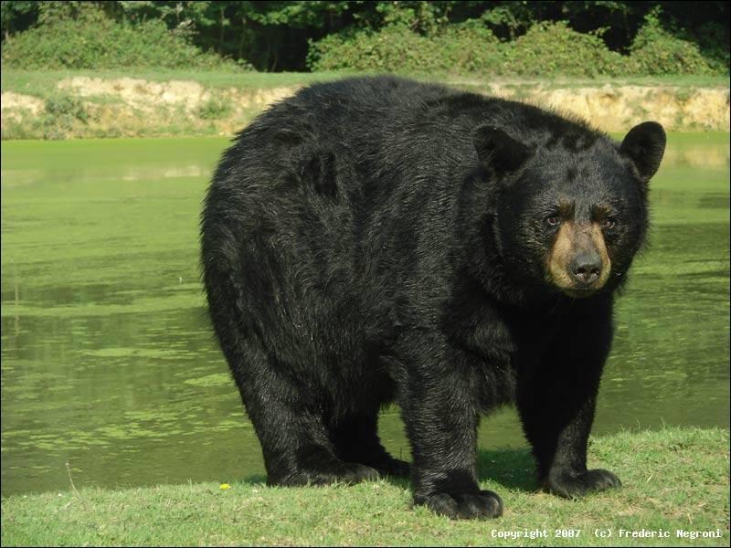 Où vit l'ours noir ?