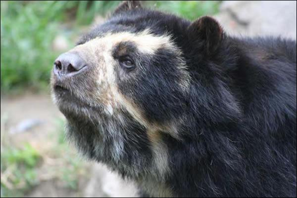 Où vit l'ours à lunettes ?