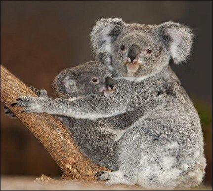 A quel âge le bébé koala commence-t-il à ouvrir les yeux et à regarder hors de la poche de sa mère ?