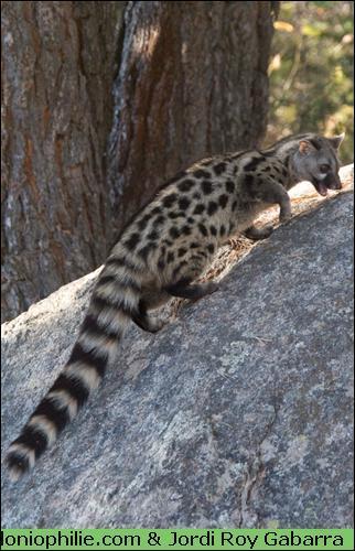 Quel est ce petit carnivore qui se cache souvent dans les arbres ?