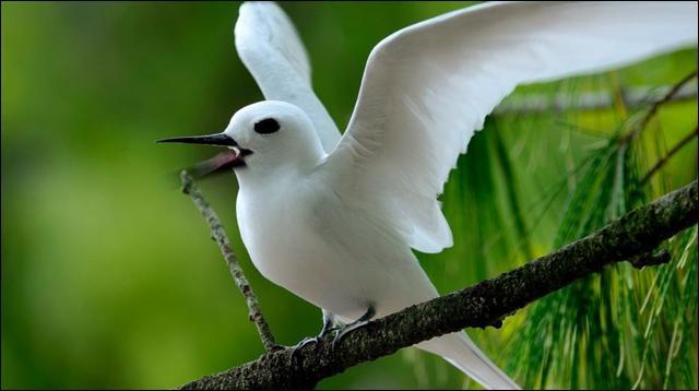 Quel est cet oiseau marin présent dans toutes les régions tropicales, dont l'élégance enigmatique lui vaut un attention particulière ?