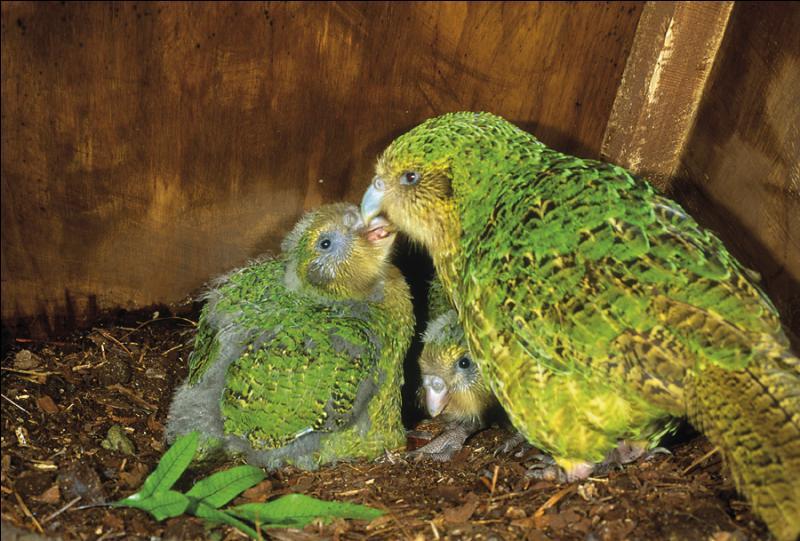 Ce perroquet de Nouvelle-Zélande a la particularité de ne pas voler et de vivre la nuit. Quel est son nom ?