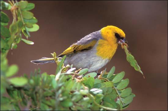 De la famille des passereaux, il vit exclusivement sur l'île Hawaï. Son espèce est en danger d'extinction à cause de la déforestation. Qui est-il ?