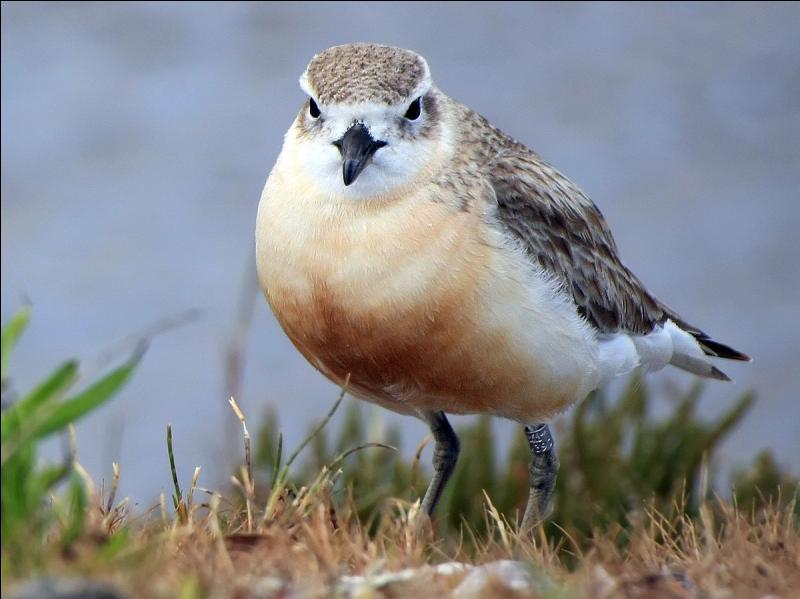 Petit oiseau de rivage, on le trouve seulement dans certaines régions de Nouvelle-Zélande. Comment s'appelle-t-il ?