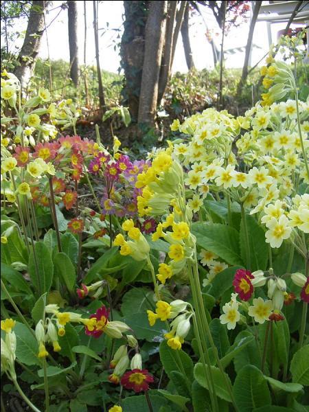 Quelles sont ces fleurs dont l'appellation signifie  début du printemps  en latin ?