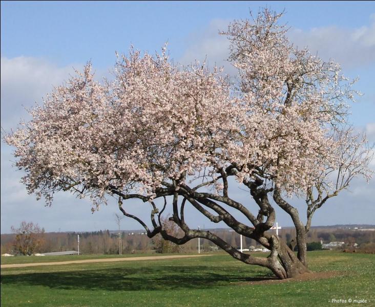 Quel est cet arbre fruitier qui est le premier à fleurir au printemps ?