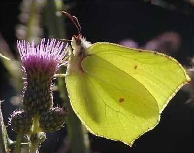 Quel est le premier papillon qui  papillonne  dès le début du printemps ?