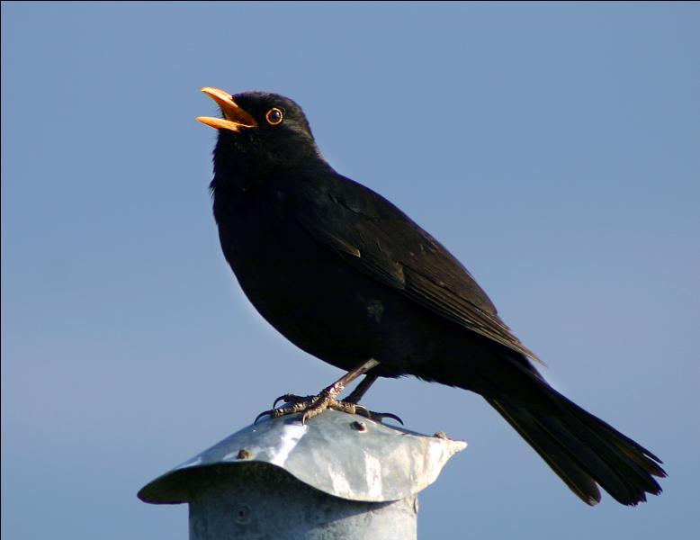 Au printemps, on l'entend siffler dès l'aube et même avant le lever du soleil. Quel est cet oiseau très vaillant ?