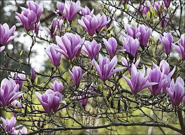Au sortir de l'hiver, sa floraison est spectaculaire et parfumée. Reconnaissez-vous ce bel arbre d'ornement ?