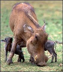 Cousin africain du sanglier, il adore se rouler dans la boue.