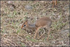 C'est l'une des plus petites antilopes du monde.