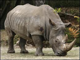 C'est le 2e plus gros animal terrestre. Malgré son poids, il peut faire des pointes de 40 km/h.
