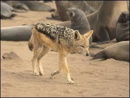 Ce petit canidé peut lui aussi voler la proie d'autres prédateurs.