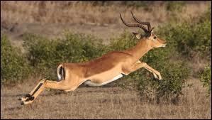 Cette antilope peut faire des bonds de 3 m de haut et atteignant 10 m de long.