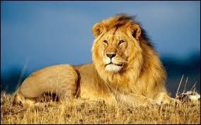 Seul félin à vivre en groupe, c'est le roi des animaux.
