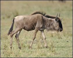 Cette antilope, qui peut courir à 80 km/h, est la proie préférée des lions.
