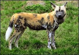 Également appelé chien sauvage, son nom scientifique signifie  loup peint .