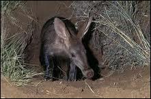 Cet animal bizarre vit dans des terriers d'Afrique du Sud.
