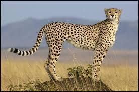Félin bâti pour la course, c'est l'animal terrestre le plus rapide.